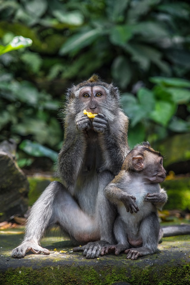 A mother monkey posing for a photo while eating something. The baby monkey is right by her side. Lessons that I learned as a mother for onehappyamma.